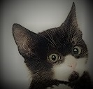 Face of a black and white kitten