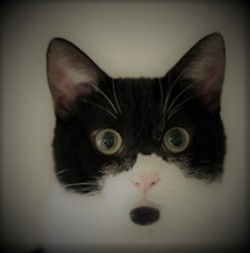 Head of a startled-looking black and white cat